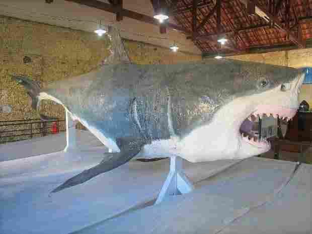 Tubarão do museu de Cananéia